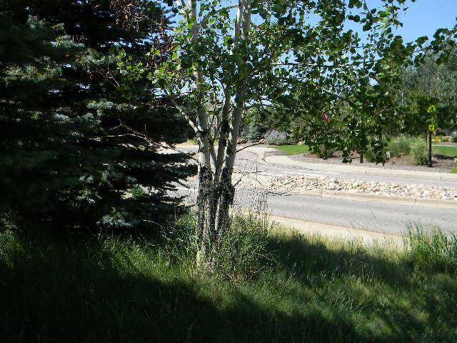 aspen tree from afar