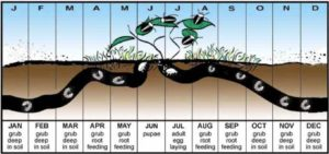 Japanese beetle feeding and emergence cycle throughout the year. Heavy Japanese Beetle Numbers Expected on Tree Service Highlands Ranch blog