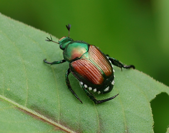 Heavy Japanese Beetle Numbers Expected